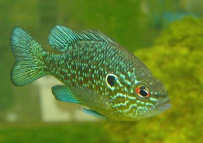 Attractive Fish Aquarium Shop 4 Lmarginatus07 Jpg