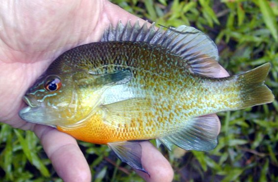 Jonah 39 s aquarium lepomis auritus redbreast sunfish for Bluegill fish tank