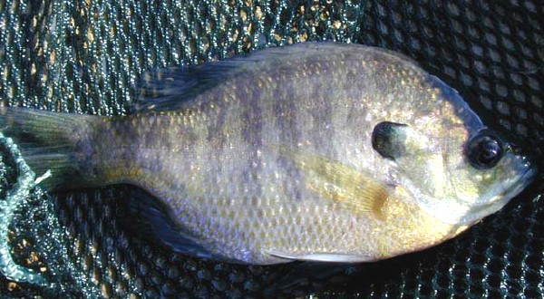 Jonah 39 s aquarium lepomis macrochirus bluegill for Bluegill fish tank