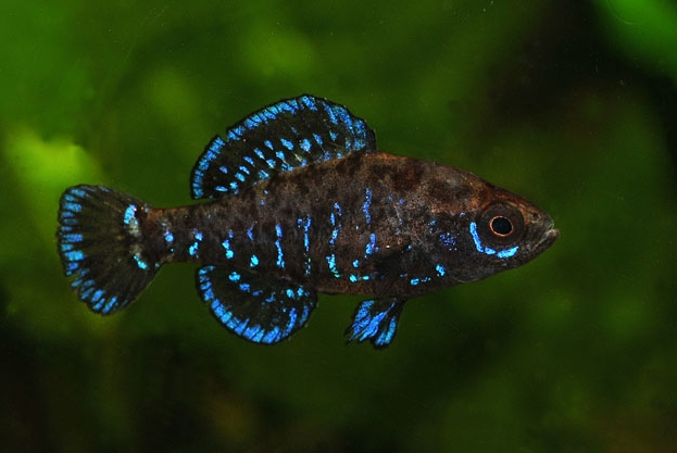 1000 images about fish on pinterest cichlids betta and for Peaceful freshwater fish