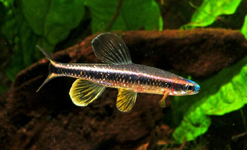 Blue nosed shiner native to florida fish pinterest for Fish native to florida